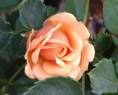 rose-orange_02