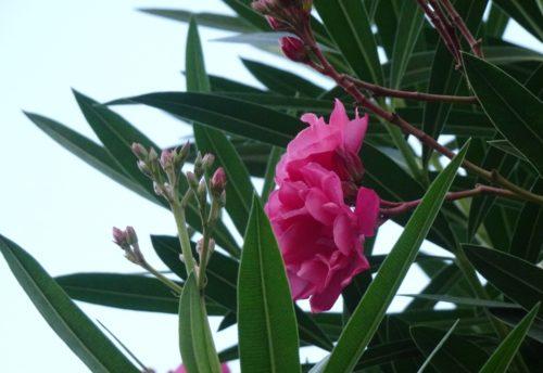 oleander_01